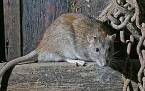 Rat and mouse removal from Forest Pest Control